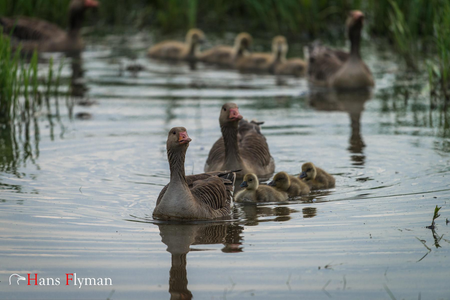 Stolta grågåsföräldrar tar sina gässlingar på simtur